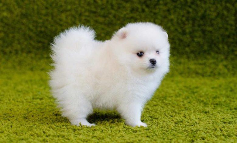 Are Pomeranians good pet?